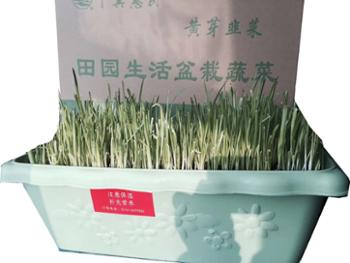 翠仙 盆栽黄芽韭菜根 大盆 每茬可收3斤左右
