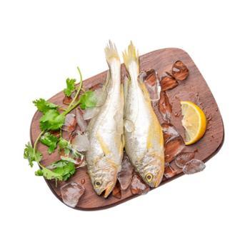 摩时渔鱼舟山海捕中条黄鱼3斤量贩装6-8条/斤